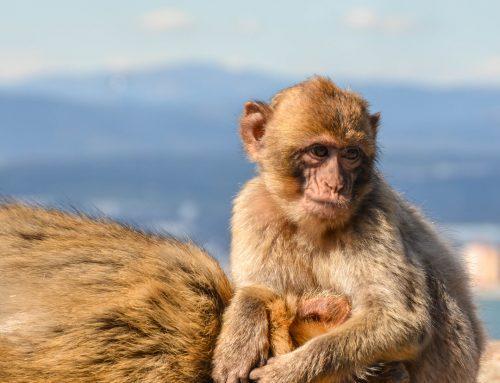 Mons Calpe Suite Monkeys